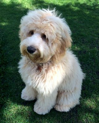 Labradoodles for sale in Penhold, Alberta | Puppy Heaven Labradoodles