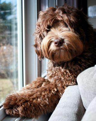 Labradoodles For Sale In Laurentides Quebec Puppy Heaven