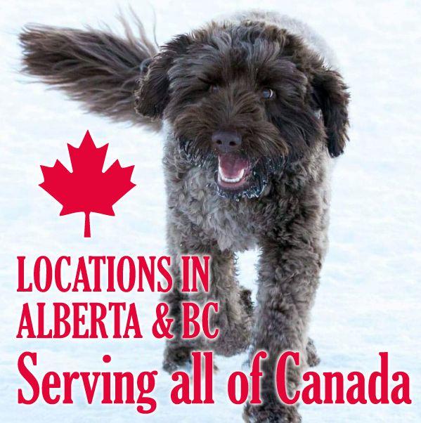 Labradoodles for sale in Gander, Newfoundland & Labrador